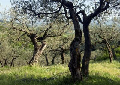 San Damiano - gaje oliwne